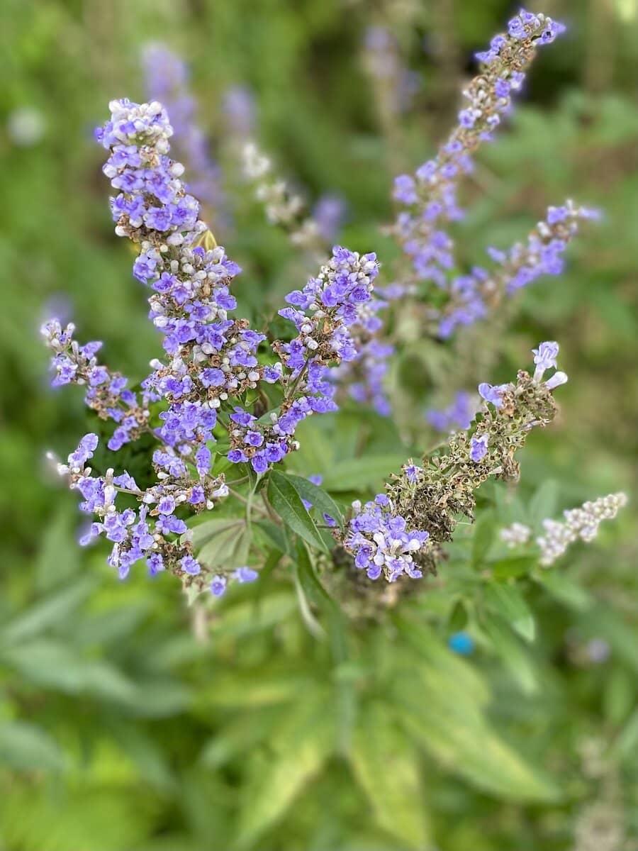 haste tree purple flowers